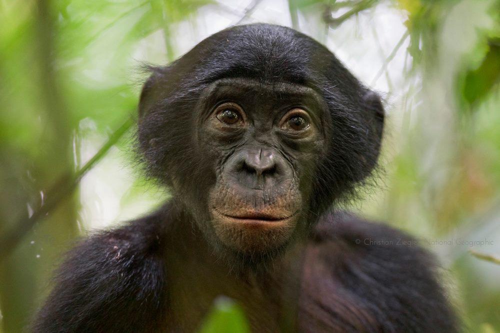 Photo: Bonobo Conservation Initiative