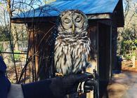 Art the Barred Owl