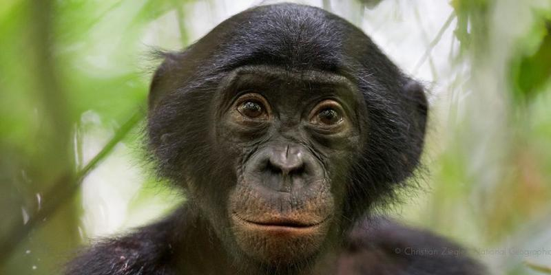 Photo: Bonobo Conservation Initiative
