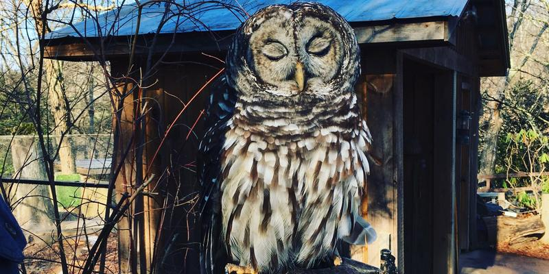 Art the Barred Owl