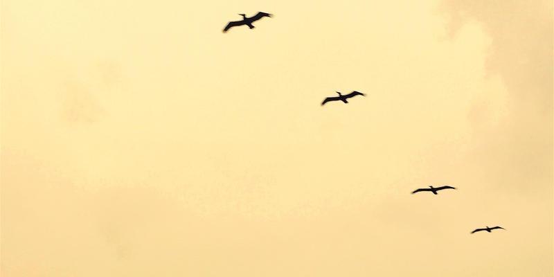 Pelicans. Photo: Sebastian Matthews