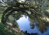 Suwanee River Live Oaks. Photo: Stewart Tomlinson