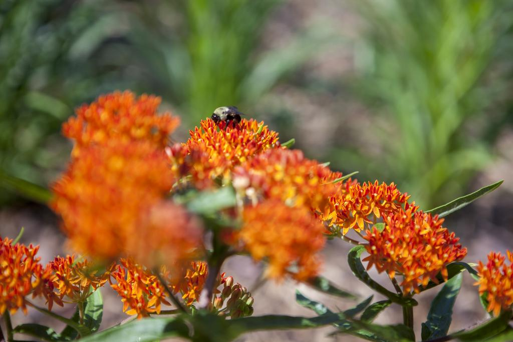 Milkweed Pollinator
